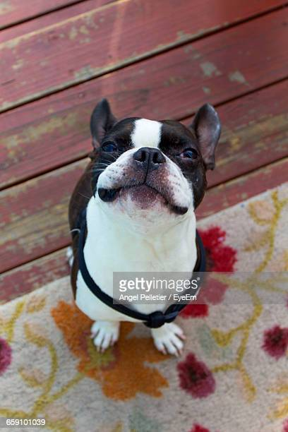 High Angle View Of Boston Terrier Standing On Carpet