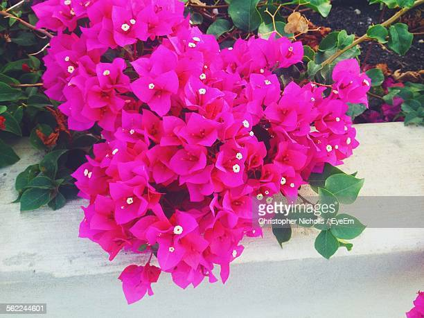 High Angle View Of Bougainvilleas Blooming Outdoors