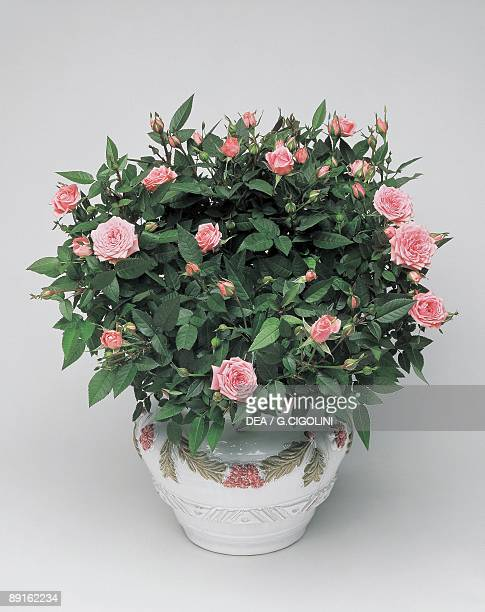 High angle view of Bourbon roses growing in a pot