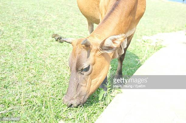 High Angle View Of Brown Cow Grazing On Grass