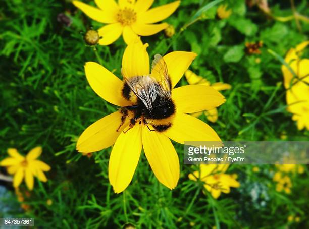 High Angle View Of Bumblebee On Flower