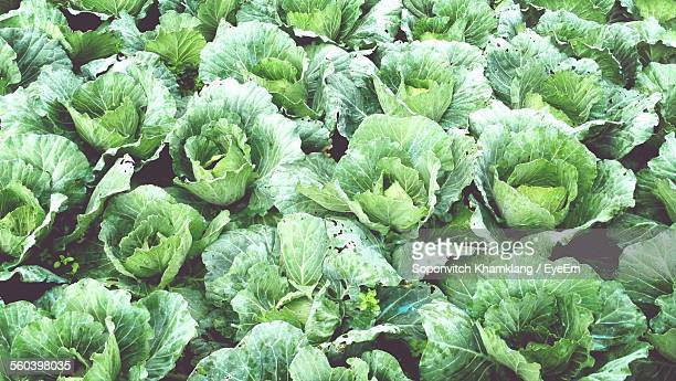High Angle View Of Cabbage Growing On Field