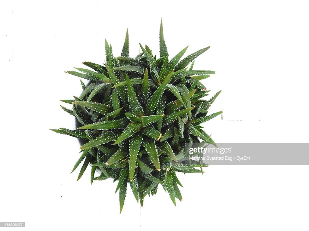 High Angle View Of Cactus On White Background : Stock Photo