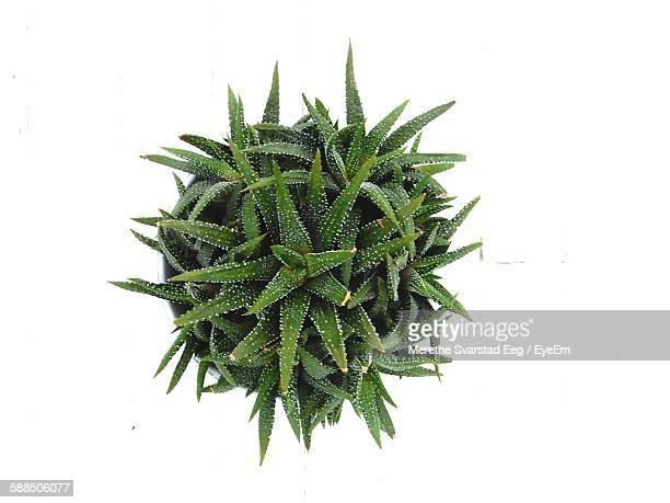 High Angle View Of Cactus On White Background