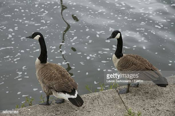 High Angle View Of Canada Geese On Riverbank