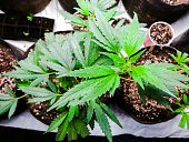 High Angle View Of Cannabis Plants On Table