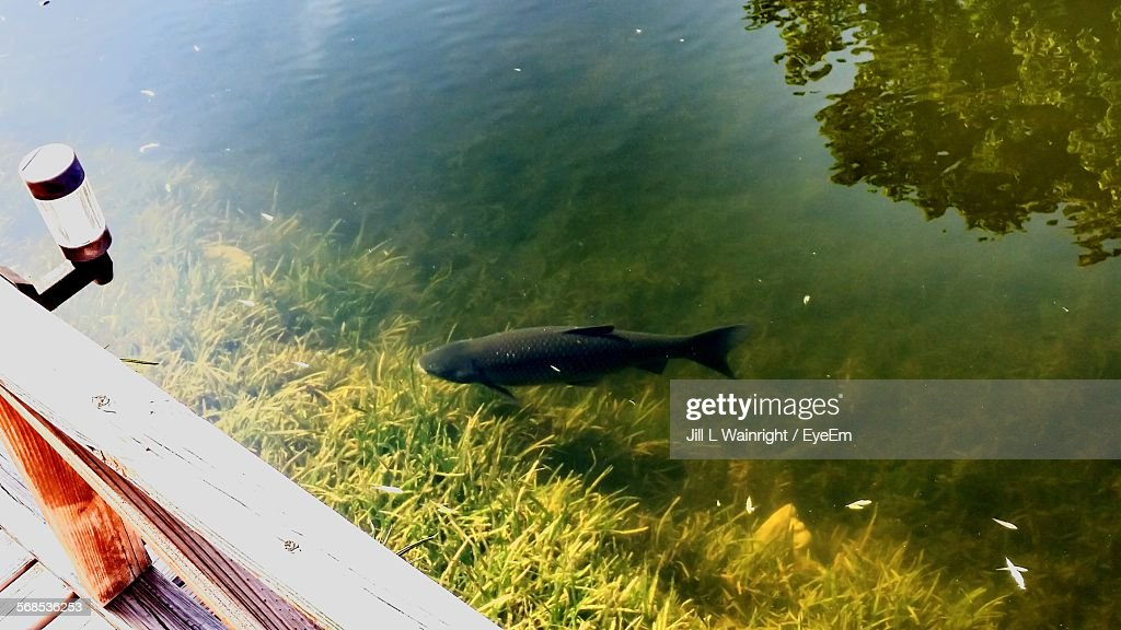 High Angle View Of Carp Swimming In Canal