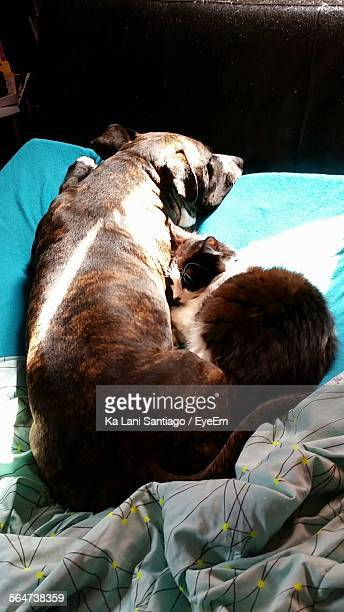 High Angle View Of Cat And Dog Relaxing On Bed At Home