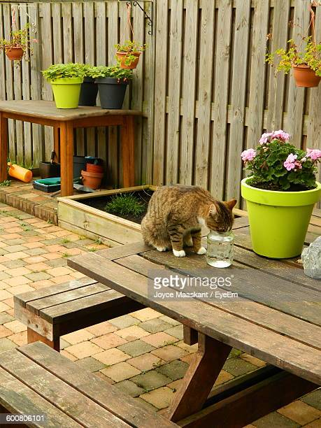 High Angle View Of Cat Drinking Water On Table By Flower Pot In Yard