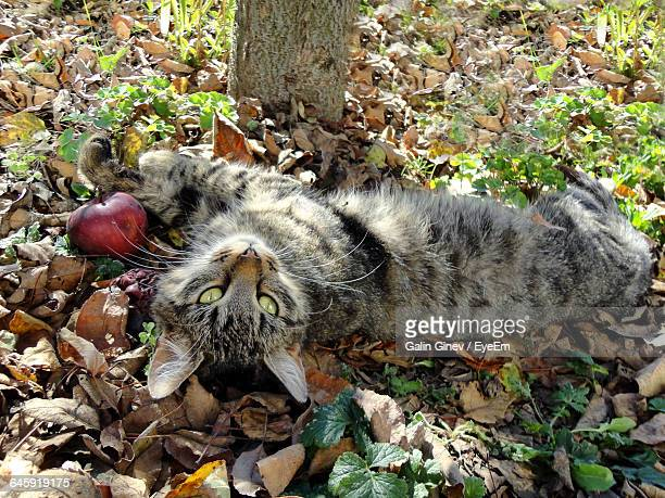 High Angle View Of Cat Lying By Apple On Dry Leaves