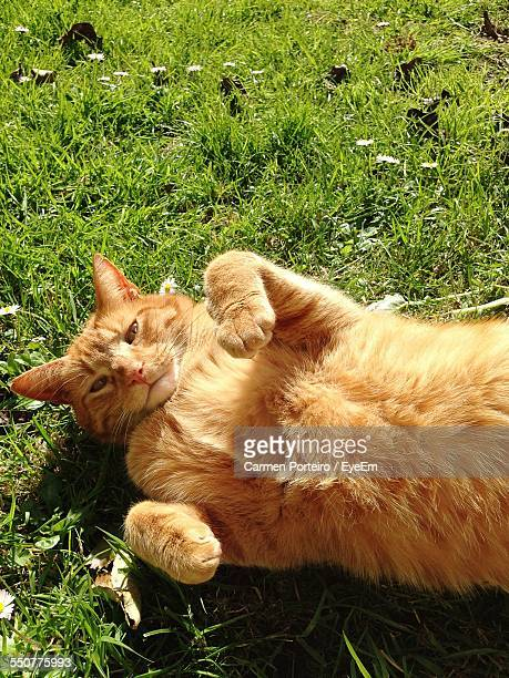 High Angle View Of Cat Lying In Park