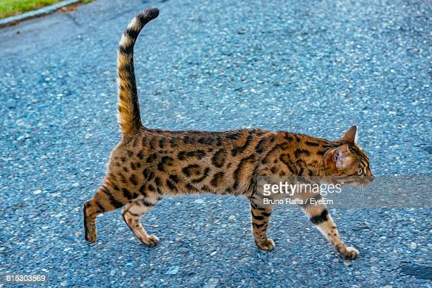 High Angle View Of Cat Walking On Street