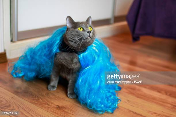 High angle view of cat wearing blue costume