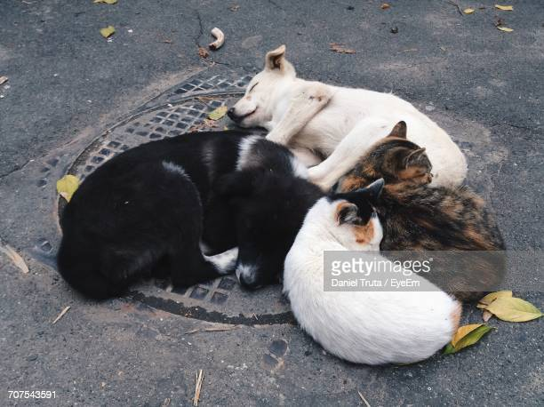 High Angle View Of Cats And Dogs Resting On Manhole At Street