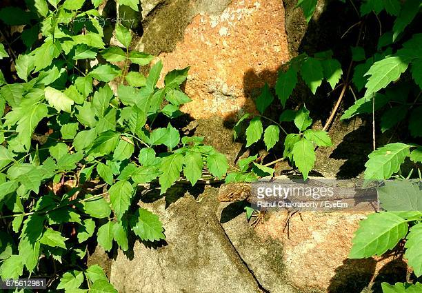 High Angle View Of Chameleon On Rock By Plants