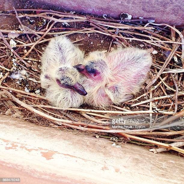 High Angle View Of Chick In Nest