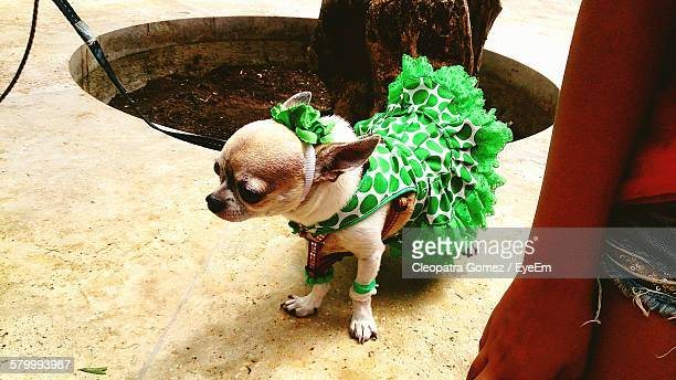 High Angle View Of Chihuahua Dressed With Green Polka Dots Dress