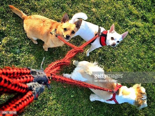 High Angle View Of Chihuahua Tied Up From Leash On Grassy Field In Park