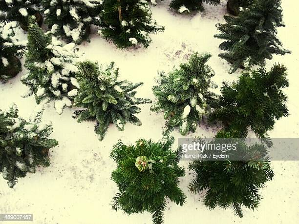 High angle view of Christmas trees in snow