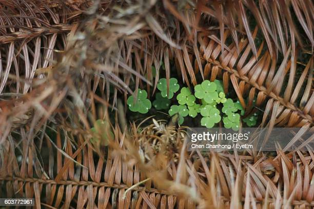 High Angle View Of Clovers Growing Amidst Dry Leaves