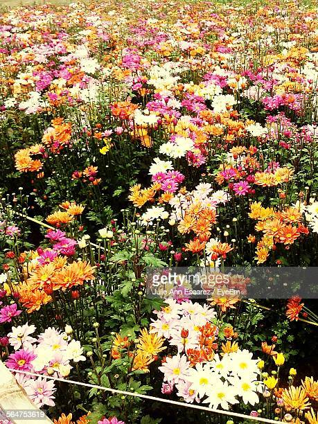 High Angle View Of Colorful Daisy Flowers In Field