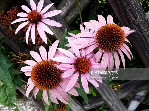 High Angle View Of Coneflowers Blooming Outdoors