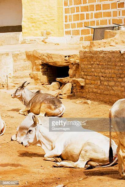 High angle view of cows on the street, Jaisalmer, Rajasthan, India