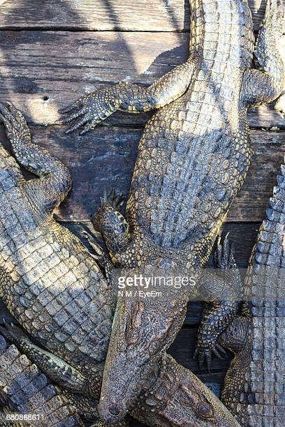 High Angle View Of Crocodile On Boardwalk