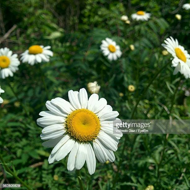 High Angle View Of Daisies Blooming On Field