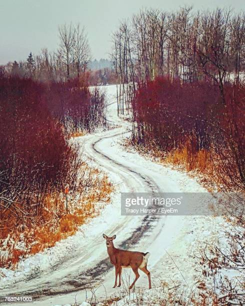 High Angle View Of Deer On Snow Covered Road Amidst Bare Trees