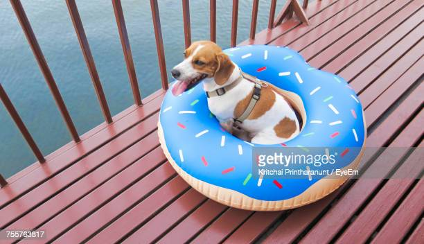 High Angle View Of Dog Against Wooden Boardwalk