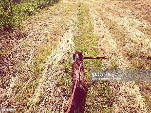 High Angle View Of Dog On Leash Carrying Stick