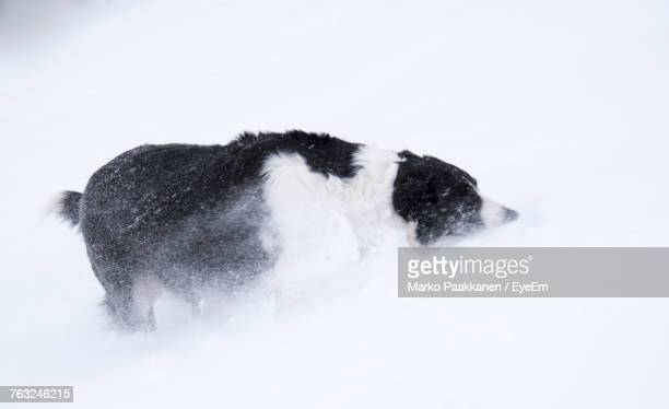 High Angle View Of Dog Walking On Snowy Field During Winter