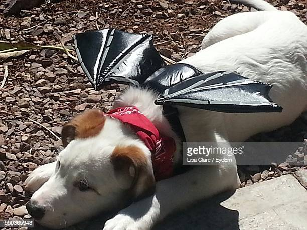 High Angle View Of Dog With Artificial Wings Resting On Field