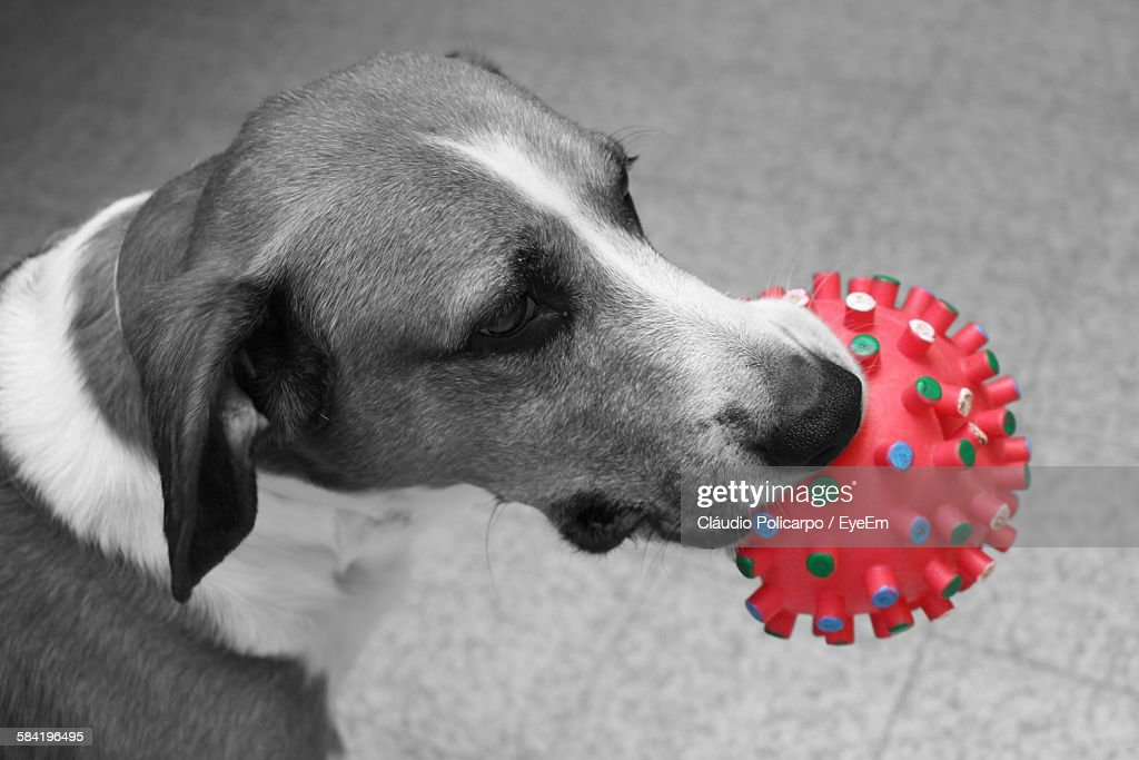 High Angle View Of Dog With Toy In Mouth