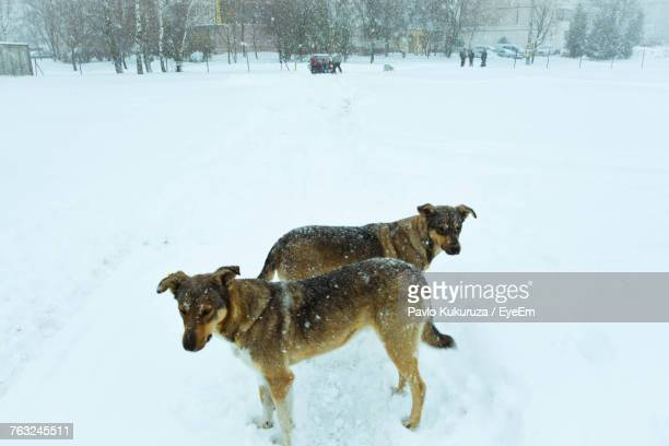 High Angle View Of Dogs Standing On Snow Field