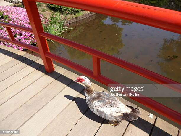 High Angle View Of Duck On Bridge By Lake