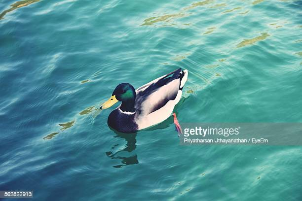 High Angle View Of Duck Swimming In Water