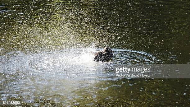 High Angle View Of Duck Swimming On Lake