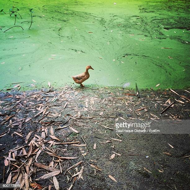 High Angle View Of Duckling By Swamp