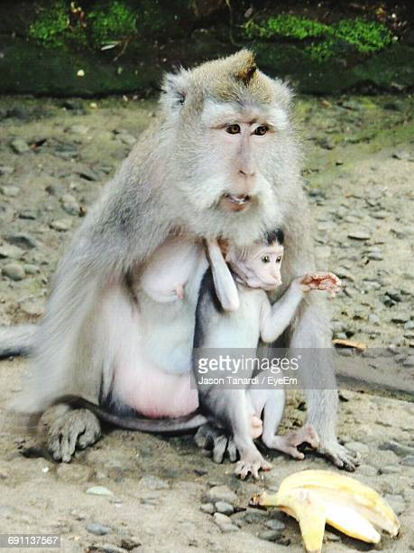 High Angle View Of Female Monkey With Infant By Banana At Ubud Monkey Forest