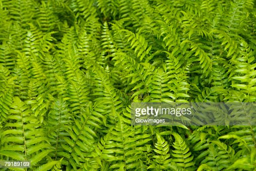 High angle view of ferns, Akaka Falls State Park, Big Island, Hawaii islands, USA : Foto de stock