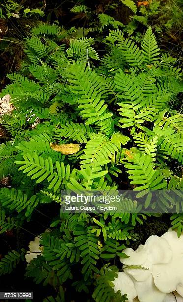 High Angle View Of Ferns Growing In Forest