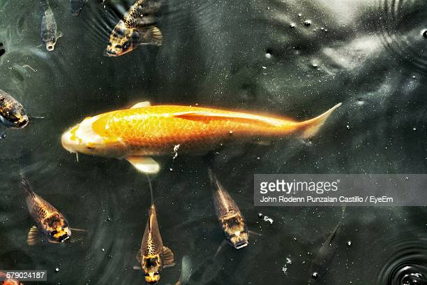 High Angle View Of Fishes Swimming On Lake