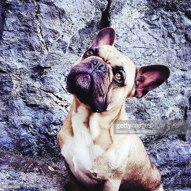 High Angle View Of French Bulldog Sitting Outdoors