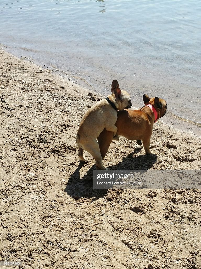 high-angle-view-of-french-bulldogs-matin