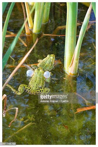 High Angle View Of Frogs In Pond
