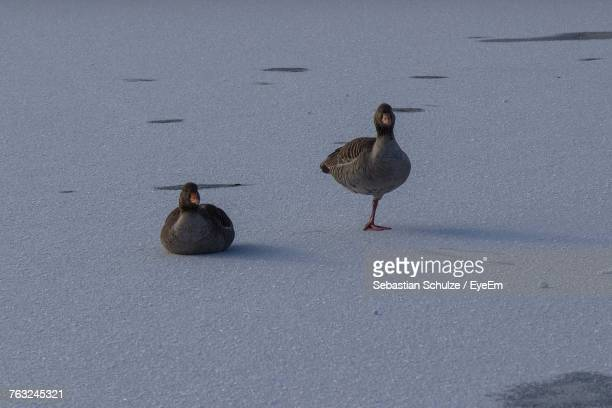 High Angle View Of Geese On Frozen Lakeshore
