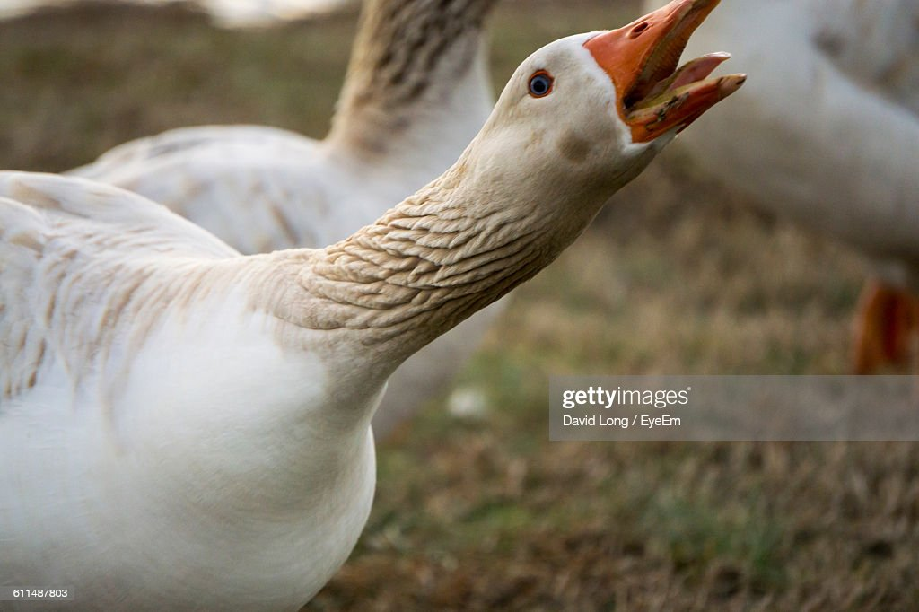 High Angle View Of Geese Perching On Field