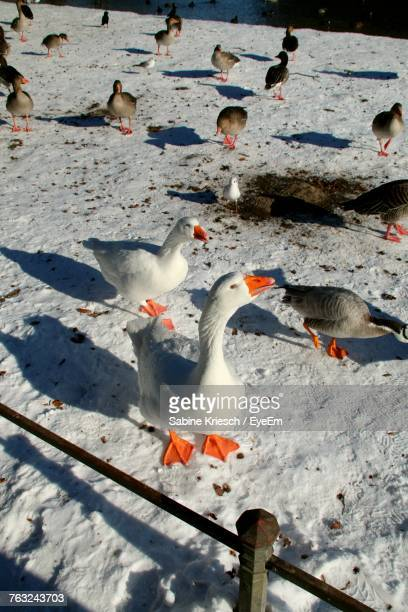 High Angle View Of Geese Perching On Snowy Field